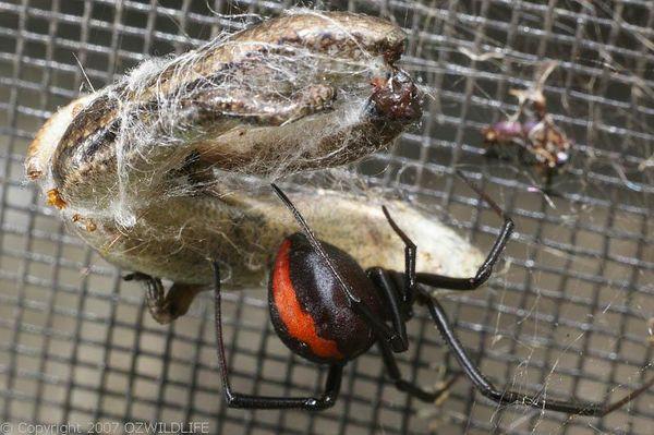 Australian WildLife: SPIDERS
