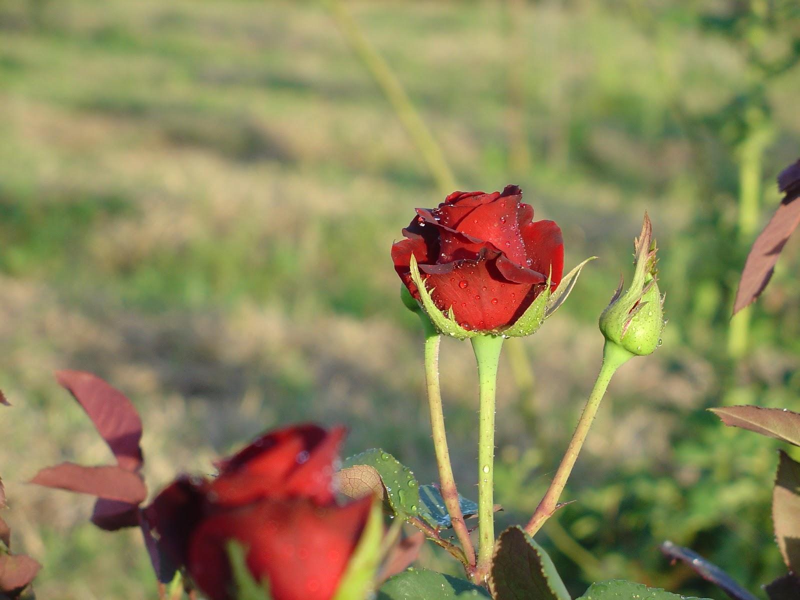 Vivero de plantas de rosas jujuy galer a de im genes for Viveros de plantas