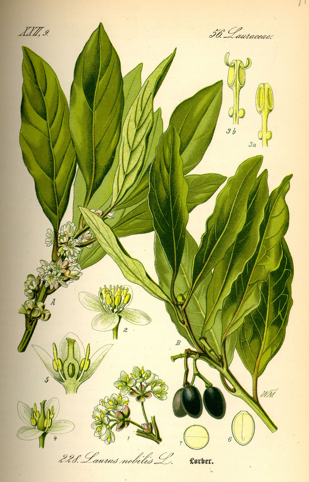 gardencuizine sweet bay laurus nobilis. Black Bedroom Furniture Sets. Home Design Ideas
