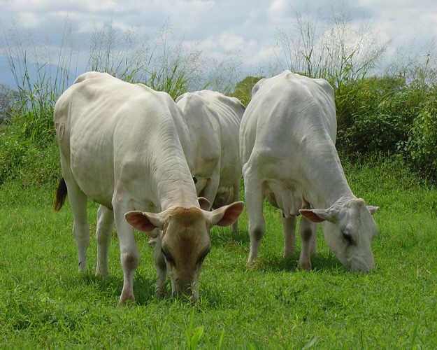 inseminacion artificial ganado vacuno:
