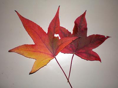 Amberboom blad