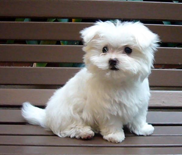 MaltesePuppies