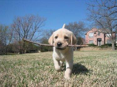Labrador fofo