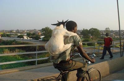 Cabrito andando de bicicleta nas costas do dono