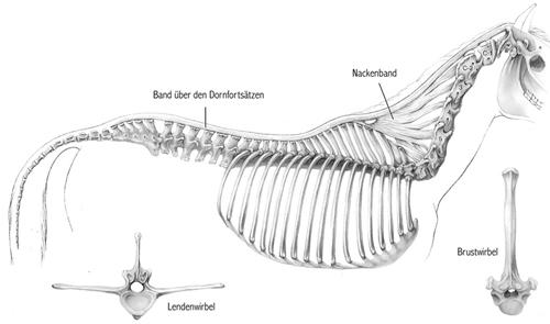 Anatomie des Pferderückens