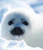 Campaña contra la matanza de focas en Canada