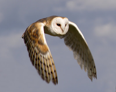 Gebra is a barn owl