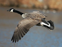 canadian goose capital