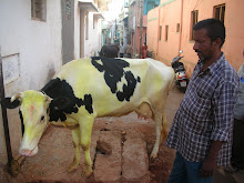 The cleanest cow in Mysore!