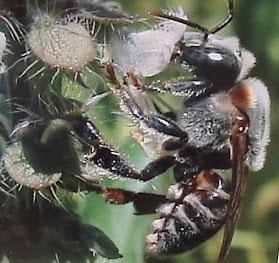 Campeira colhendo néctar