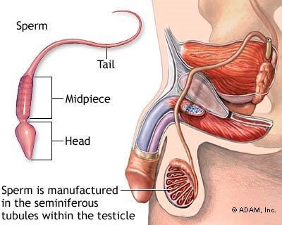 dibedakan menjadi organ kelamin luar dan organ kelamin dalam