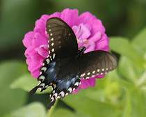 Spicebush Swallowtail