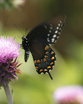 Spicebush Swallowtail Wings Together