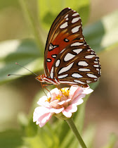 Gulf Fritillary Wings Together