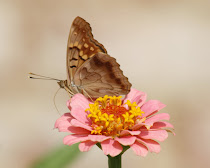 Tawny Emperor