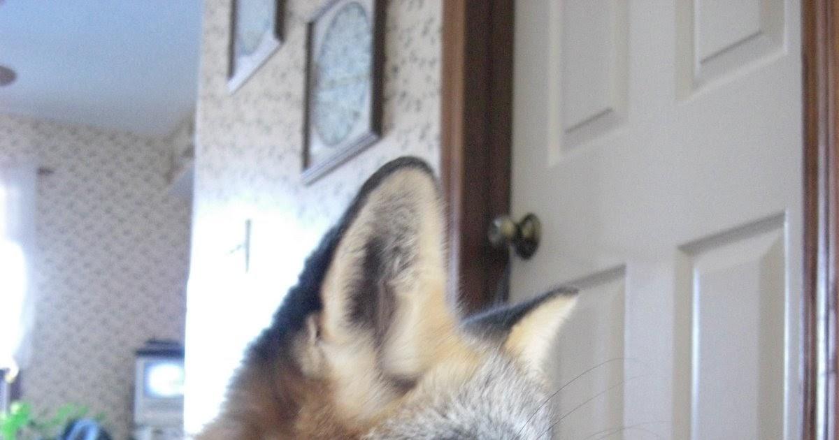The Pet Fox: Wild-born versus Captive Bred?