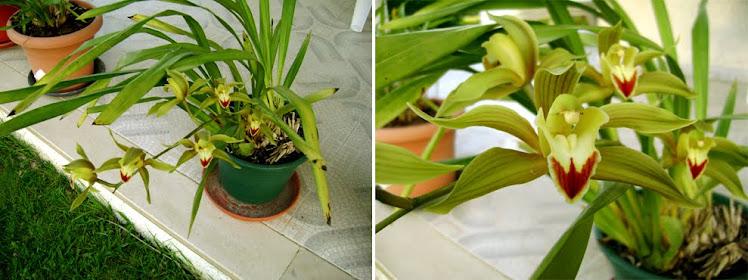 Orquideas de folhas finas e compridas for Cuidados orquideas interior