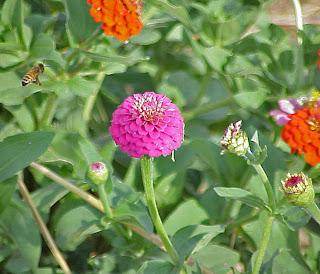 zinnea bee flower