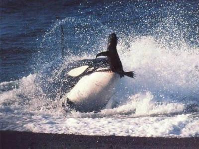 Killer Whale Dolphin