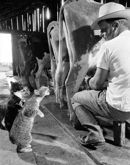 Cat Drinking Milk From a Cow