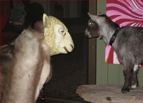 Man in Sheep Mask Facing Off Against Real Goat