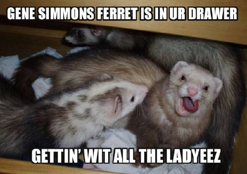 Gene Simmons Ferret Is In Ur Drawer Gettin Wit All the Ladyeez