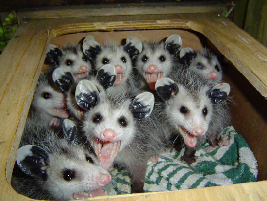 Screaming Scary Lemur Things