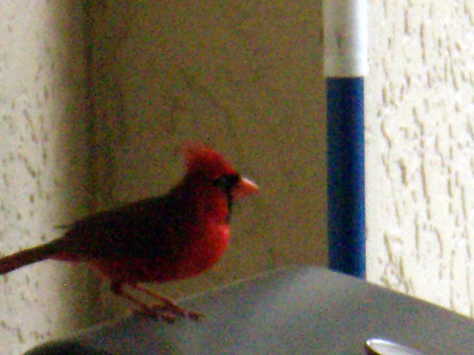 Symbolism of red bird images symbol and sign ideas dazzling alynn red jay bird i recently peeked at the symbolism of red jay bird and biocorpaavc