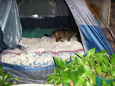 wild beast inspecting camp site
