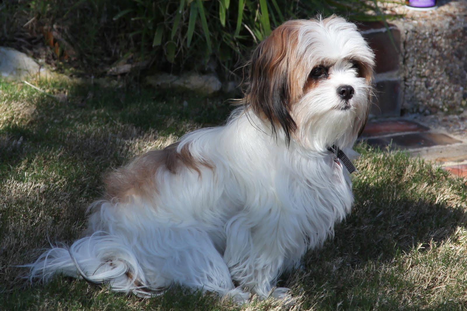 Black Shih Tzu Maltese Mix Comshih tzu-maltese puppies