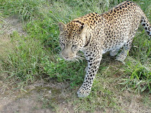Hand raised leopard can be released