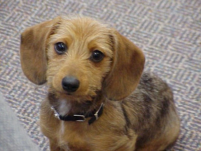 she is a 10 month old wire haired miniature dachshund that erin gave