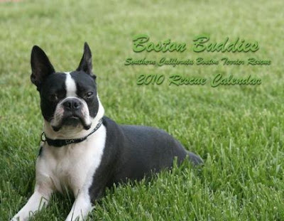 Boston Buddies 201o calendar - Boston terriers