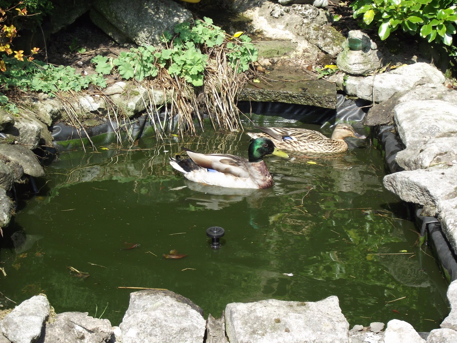 We had two ducks on the garden pond this afternoon being watched by