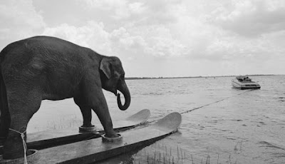 éléphant qui fait du ski nautique