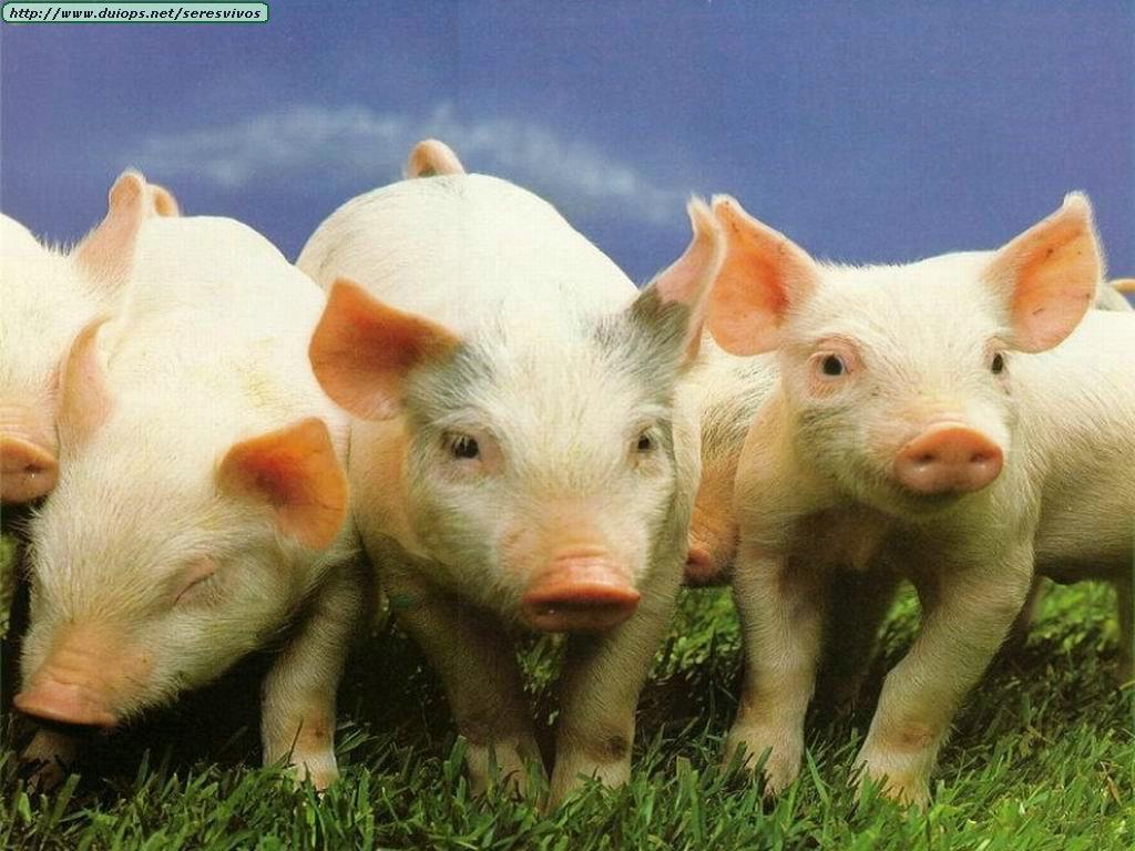 Fotos de cerdos adultos con barriga