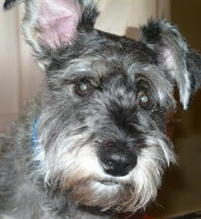 Maximus the Wonder Schnauzer