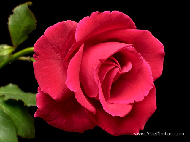 red rose flower wallpaper. wallpapers roses. wallpaper