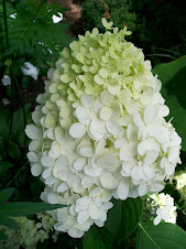 WOW - What a hydrangea!