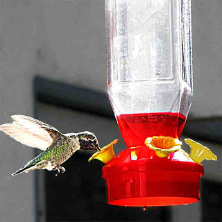 Hummingbird at our backyard feeder (c) David Ocker