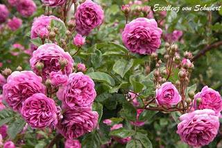 Excellenz von Schubert roses