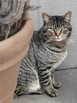 McTee - the Mackerel Tabby - our outside cat who likes to eat but isn't friendly