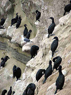 La Jolla Cove Cliff Cormorants and a Seagull (c)David Ocker