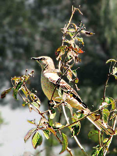 Mockingbird in a bush