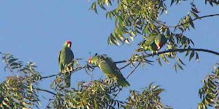 Pasadena CA Wild Parrots in a tree