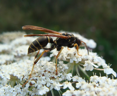 Paper wasp on Queen Anne's Lace flower head