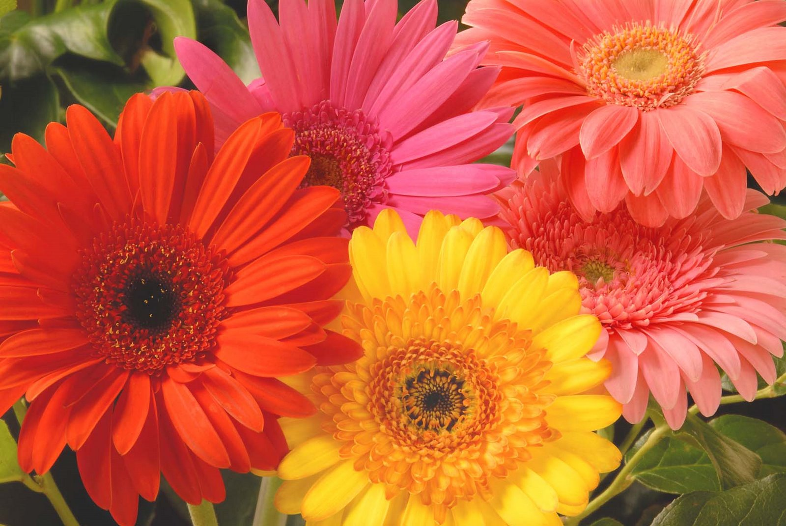 Flowers Desktop Wallpaper Gerbera Daisy