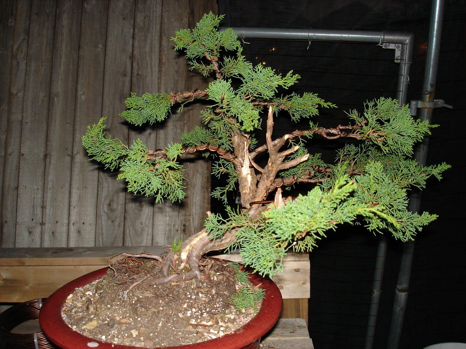 Bent Tree Bonsai Styling A Shimpaku