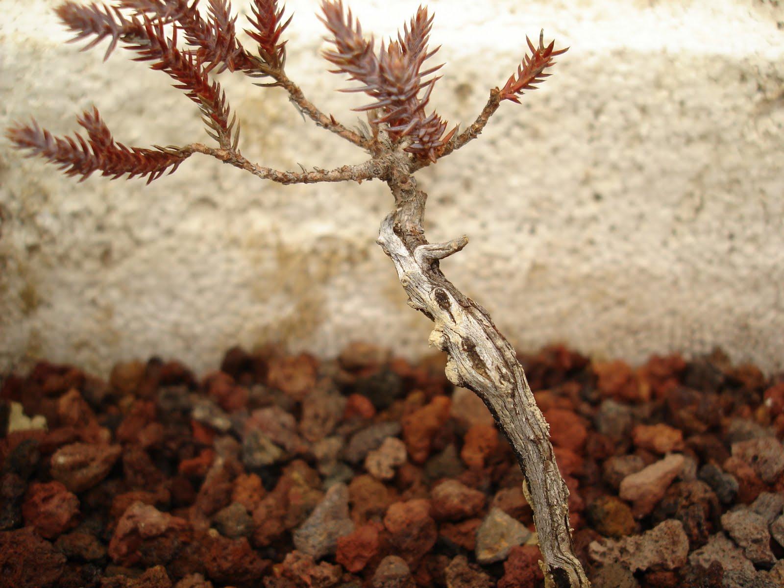 Bent Tree Bonsai Ash Juniper In Glen RoseTx