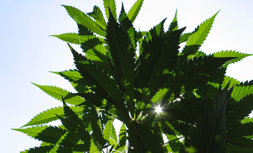 efecto del cannabis: